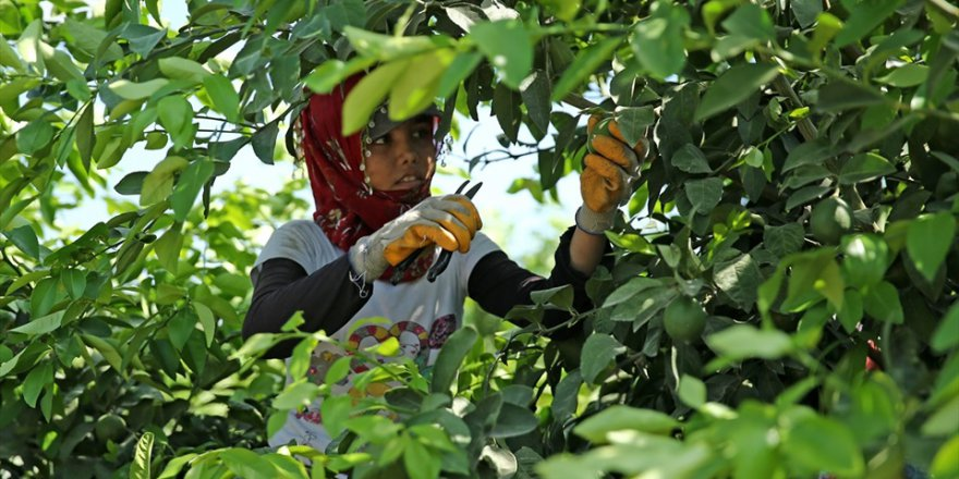 Çukurova'da limon verimi çiftçiyi mutlu etti