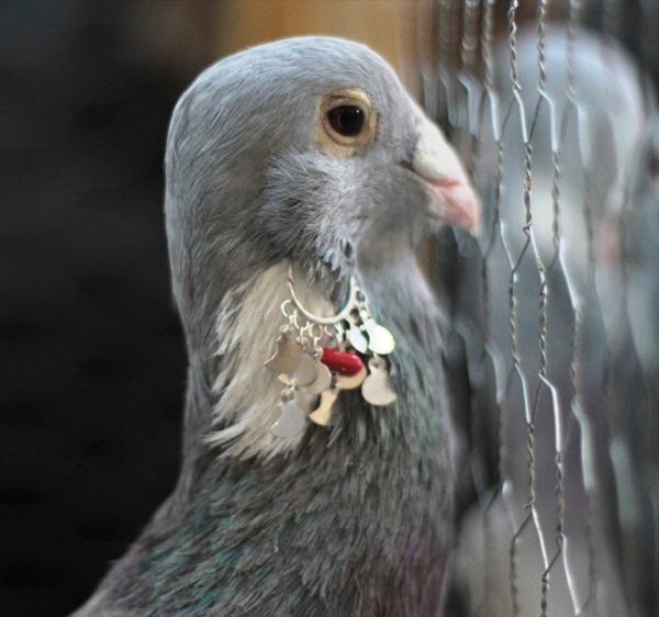 Osmaniye'deki güvercin festivali